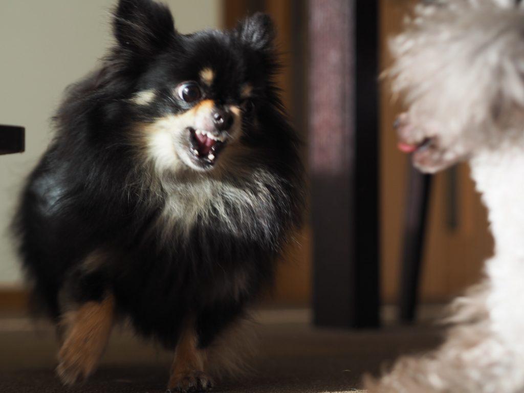 犬に向かって吠えるチワワ