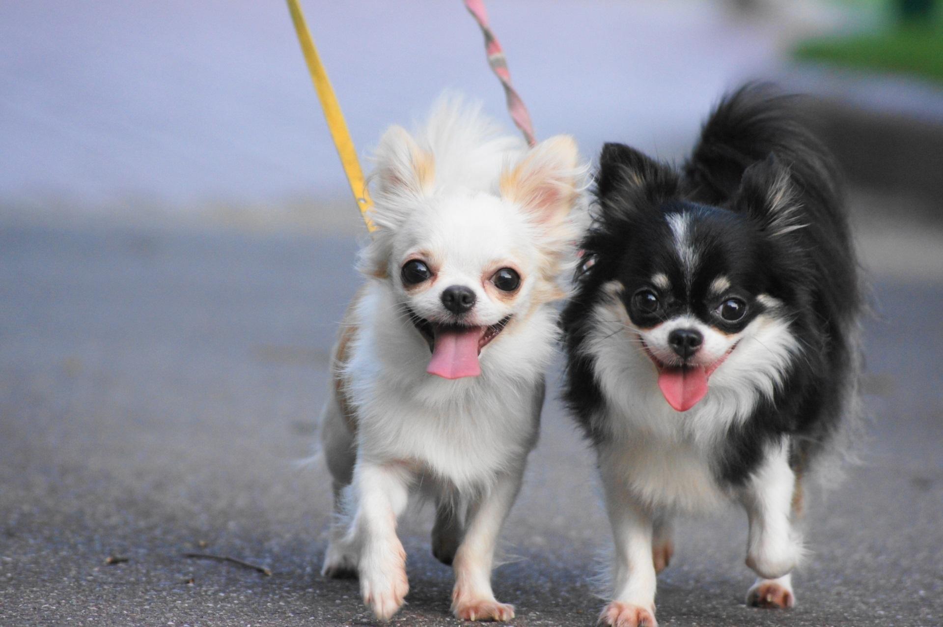 散歩中の2匹のチワワ