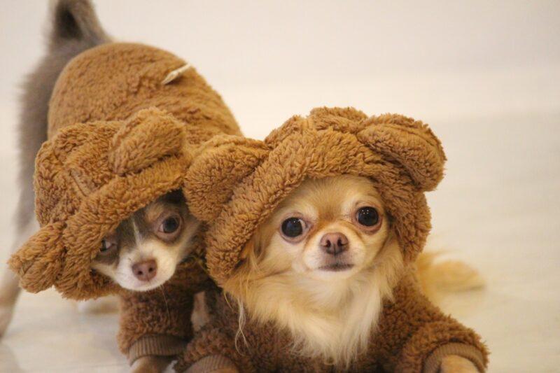 クマの着ぐるみを着た2匹のチワワ