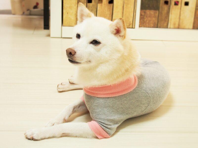服を着た白い犬
