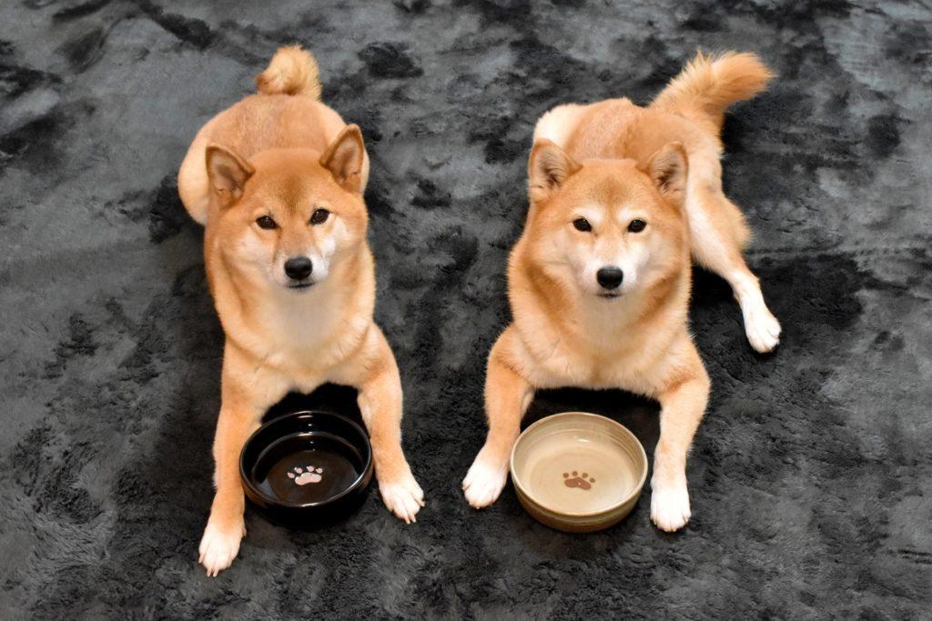 フードボウルの前にフセをする2頭の犬
